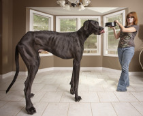 371_1_AmazingAnimals-Zeus_-_Tallest_Dog_0682.jpg
